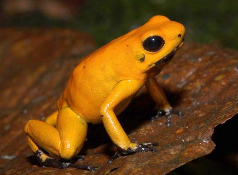 Images of Golden Poison Frog | 490x360