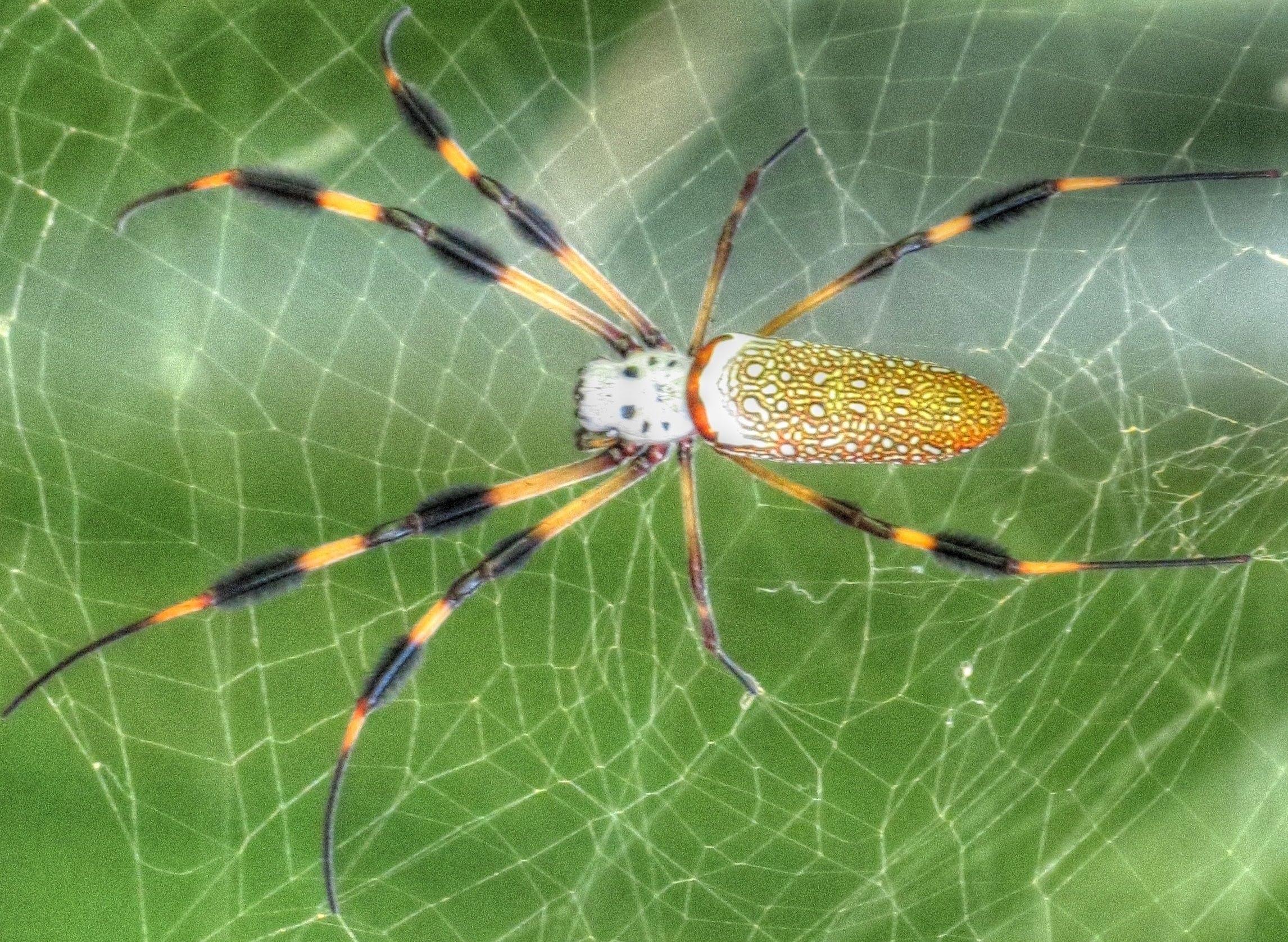 Images of Golden Silk Orb-weaver Spider   2292x1677