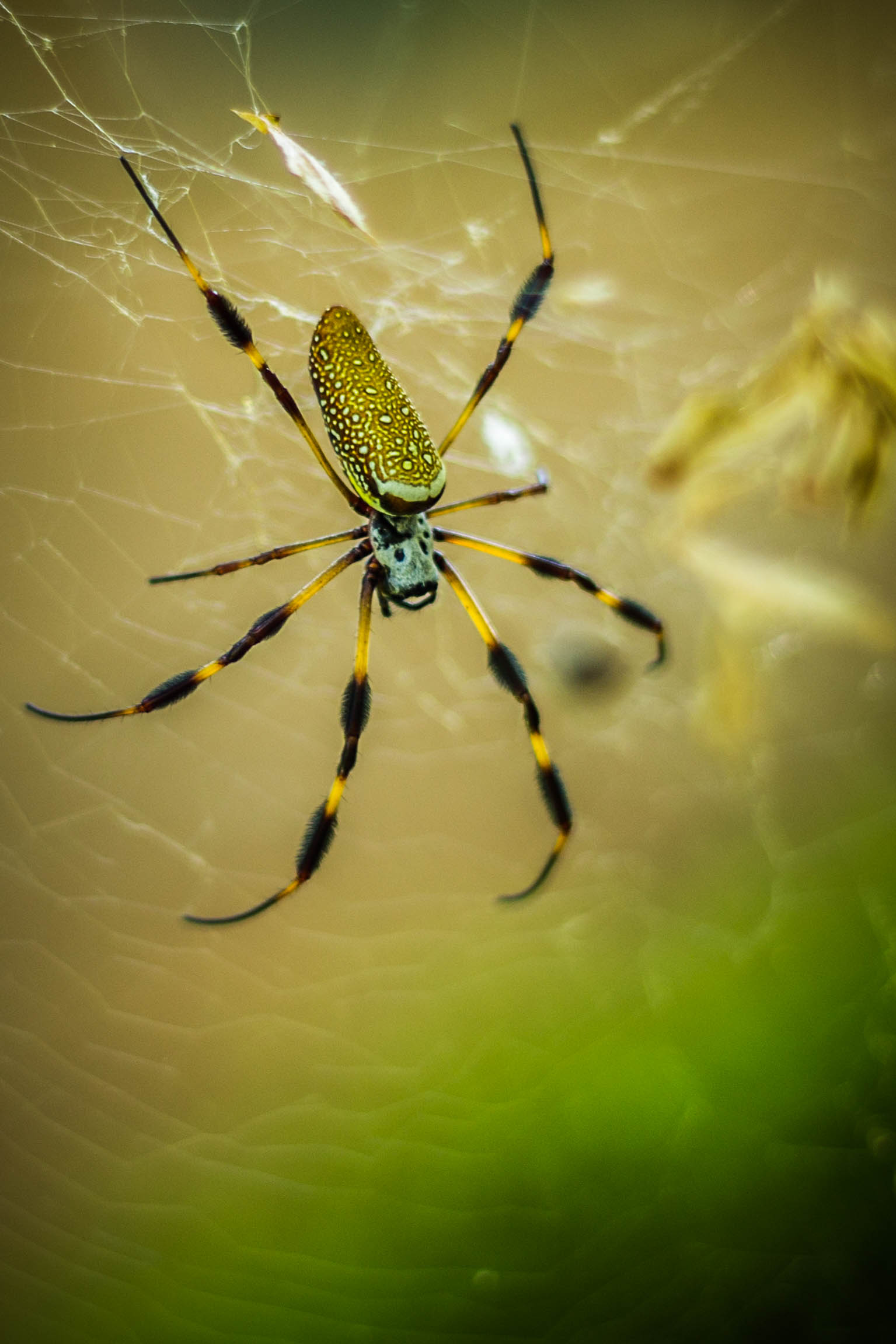HD Quality Wallpaper   Collection: Animal, 1535x2303 Golden Silk Orb-weaver Spider