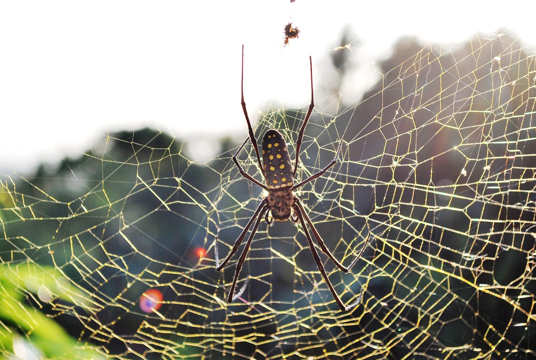 Images of Golden Silk Orb-weaver Spider   2896x1944