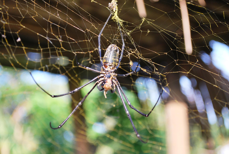 Golden Silk Orb-weaver Spider High Quality Background on Wallpapers Vista