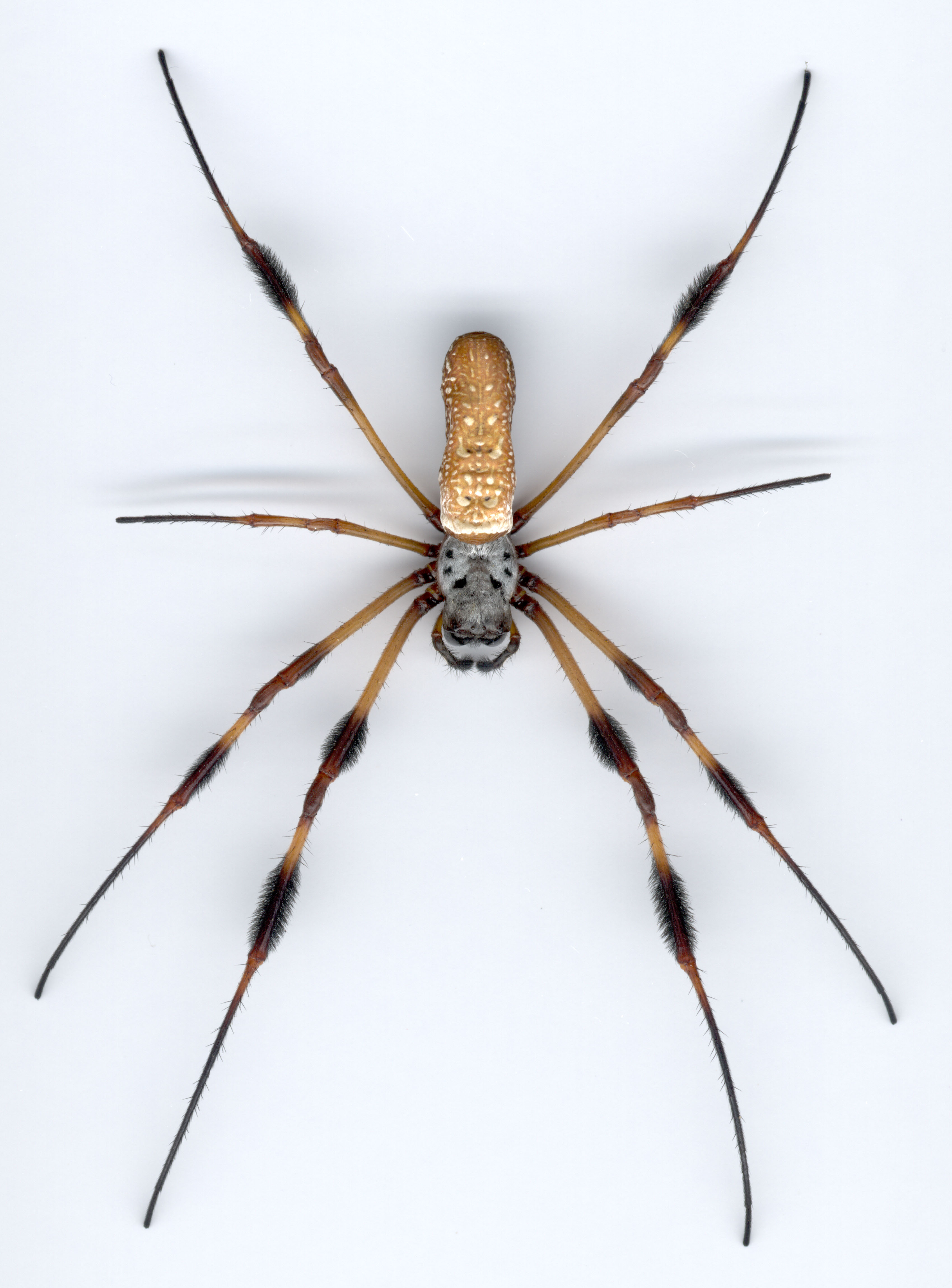 Golden Silk Orb-weaver Spider Pics, Animal Collection