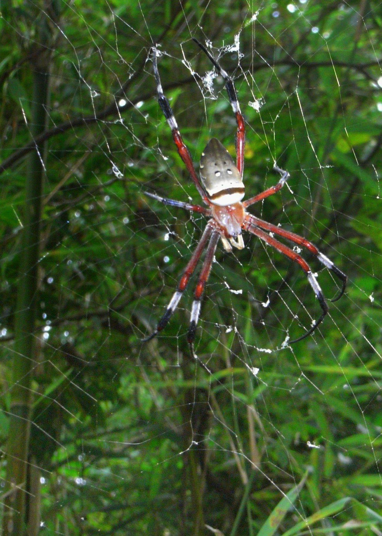 HQ Golden Silk Orb-weaver Spider Wallpapers   File 439.17Kb