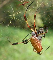 Images of Golden Silk Orb-weaver Spider   220x252