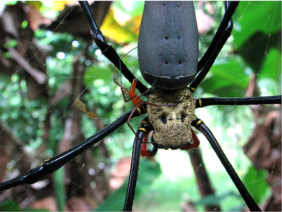 550x414 > Golden Silk Orb-weaver Spider Wallpapers