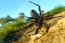 Nice Images Collection: Golden Silk Orb-weaver Spider Desktop Wallpapers