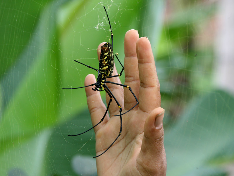 Amazing Golden Silk Orb-weaver Spider Pictures & Backgrounds