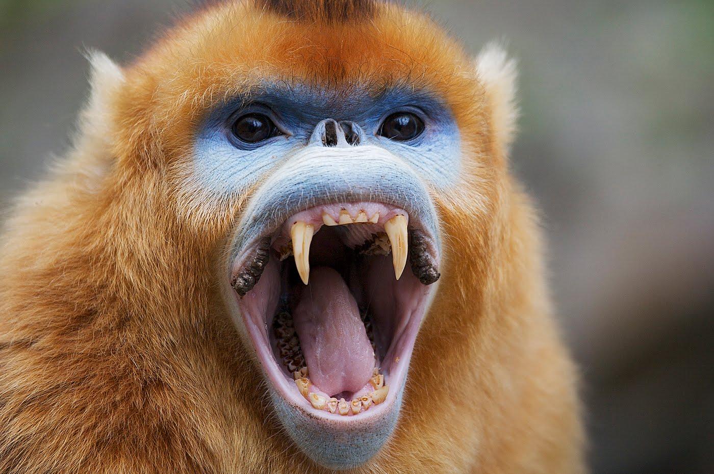 Golden Snub-nosed Monkey Backgrounds, Compatible - PC, Mobile, Gadgets| 1400x930 px