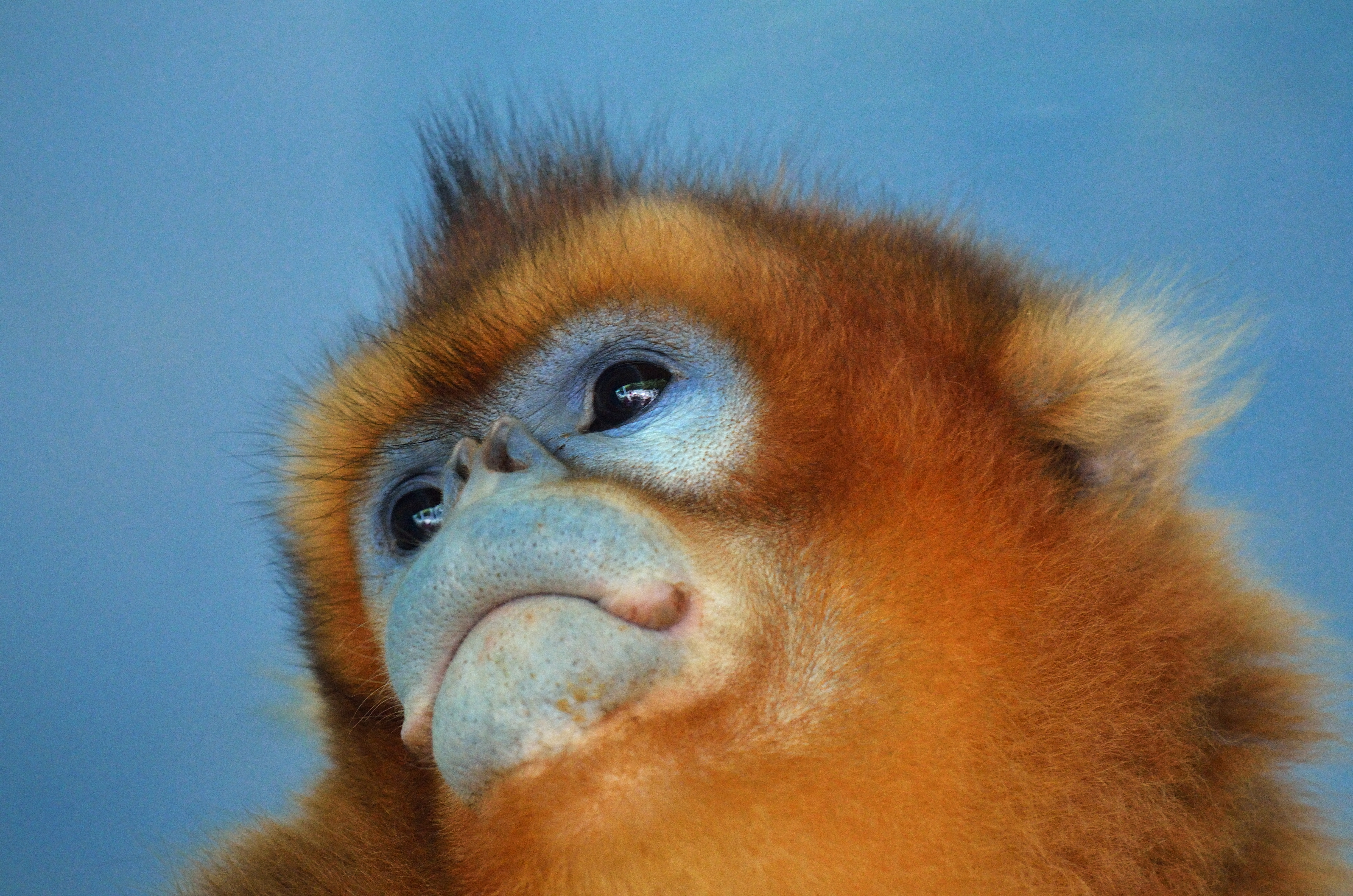 Nice wallpapers Golden Snub-nosed Monkey 4928x3264px