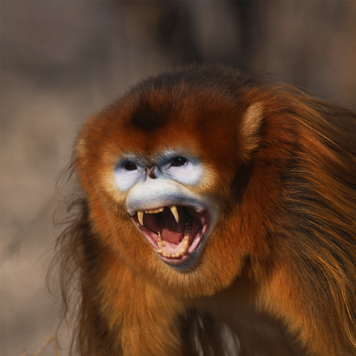 HD Quality Wallpaper | Collection: Animal, 1200x1200 Golden Snub-nosed Monkey