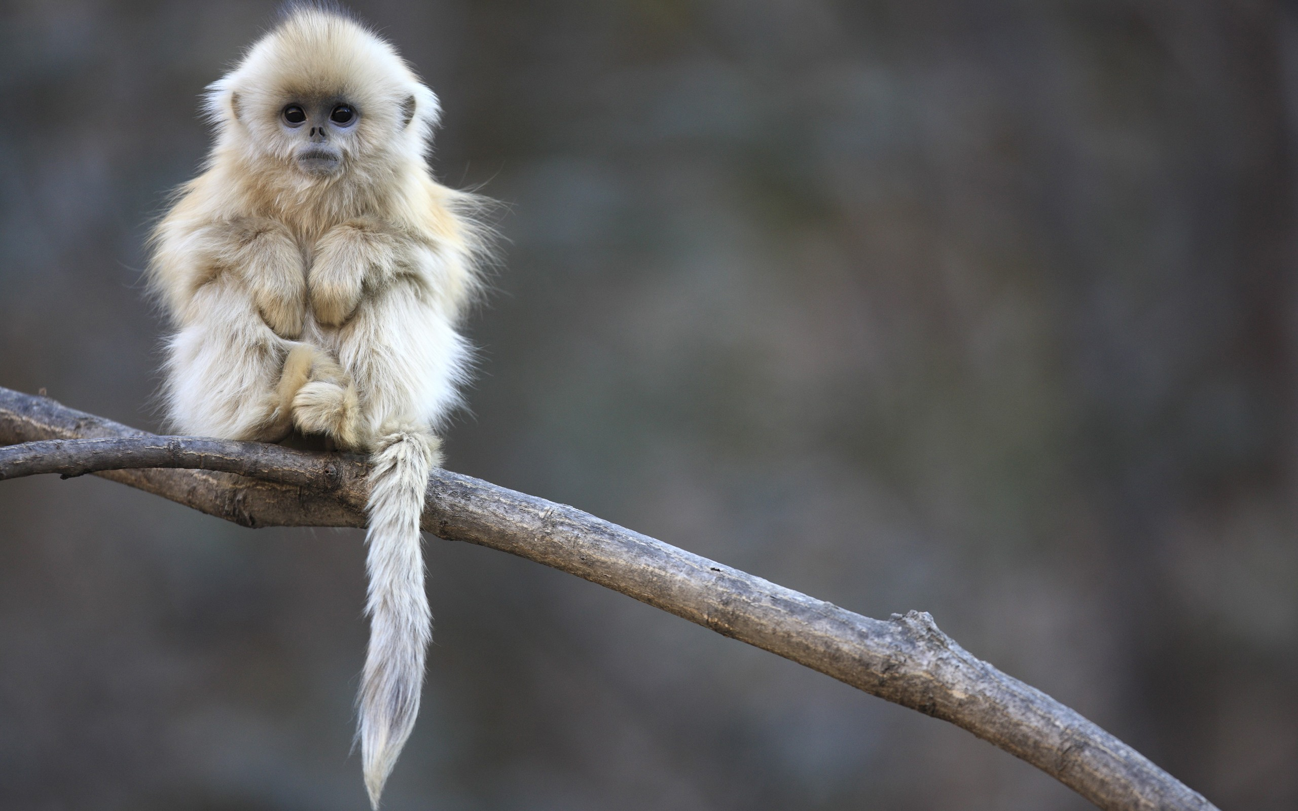 Nice Images Collection: Golden Snub-nosed Monkey Desktop Wallpapers