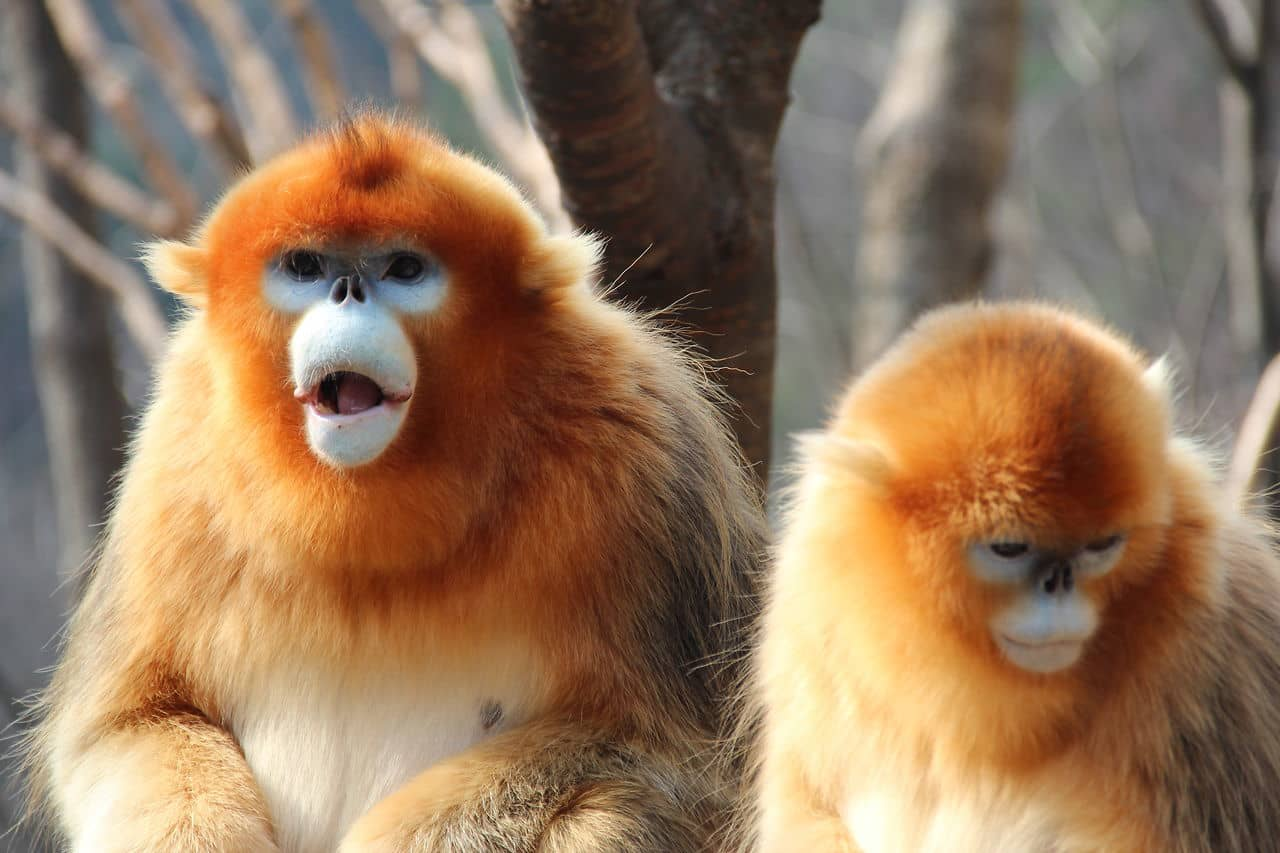 Amazing Golden Snub-nosed Monkey Pictures & Backgrounds