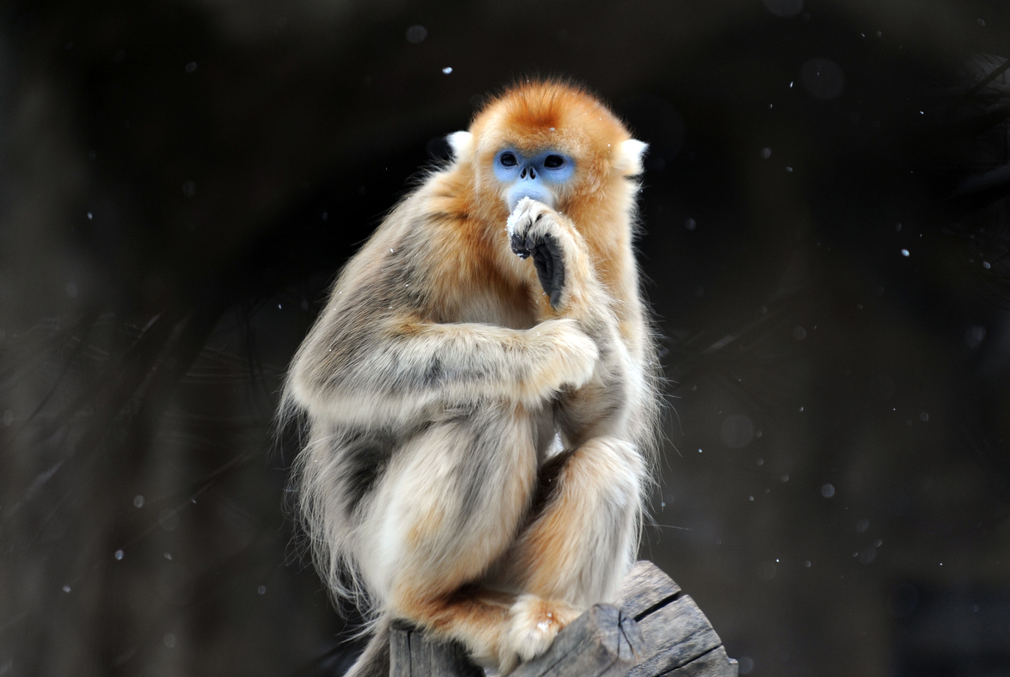 Golden Snub-nosed Monkey High Quality Background on Wallpapers Vista