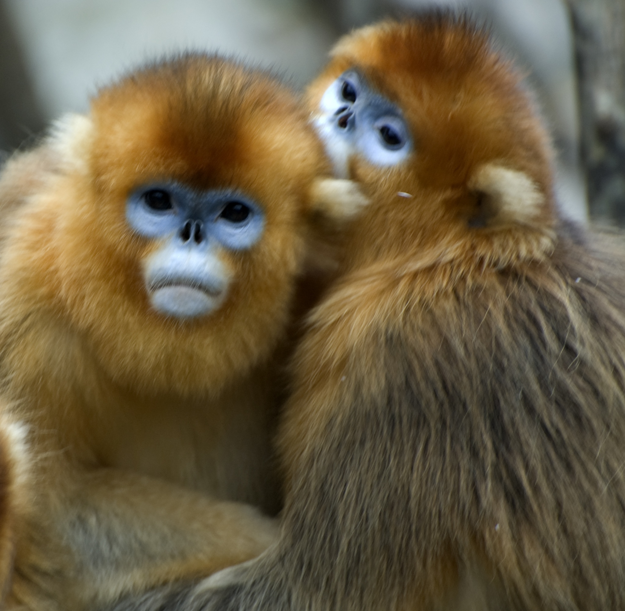 HD Quality Wallpaper | Collection: Animal, 2046x2000 Golden Snub-nosed Monkey