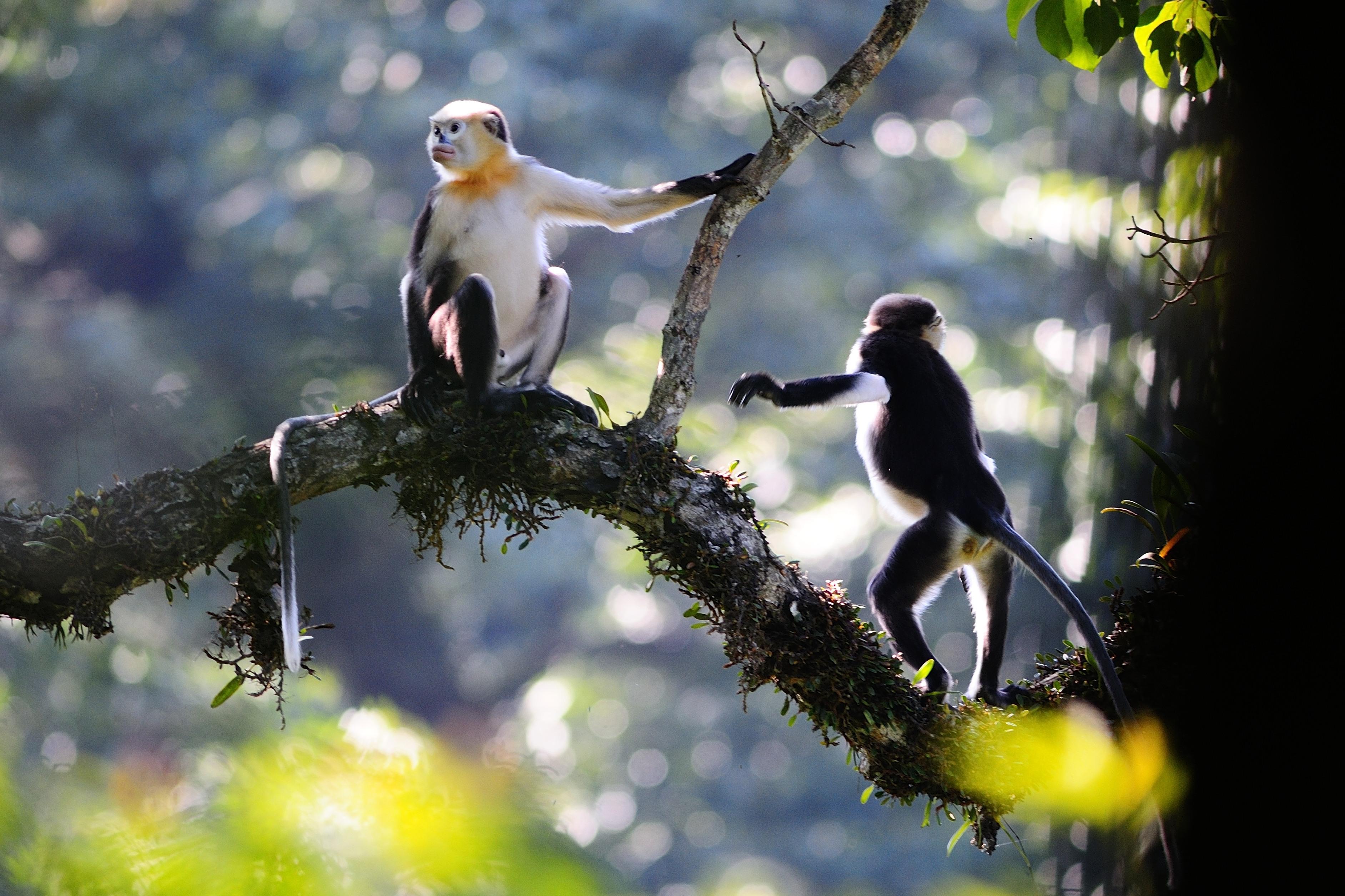 High Resolution Wallpaper | Golden Snub-nosed Monkey 3768x2512 px