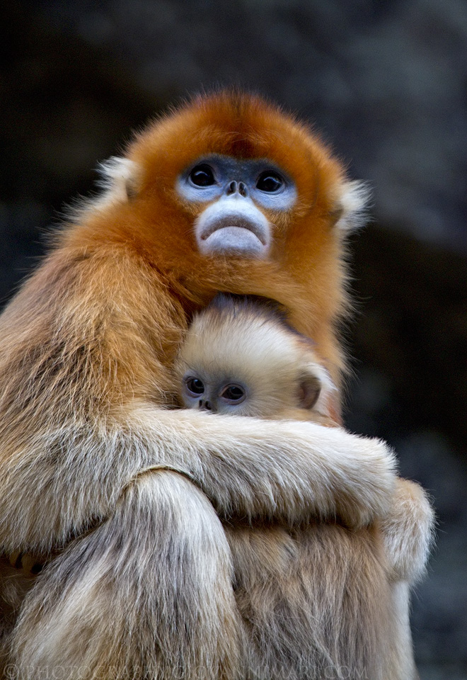 Golden Snub-nosed Monkey Pics, Animal Collection