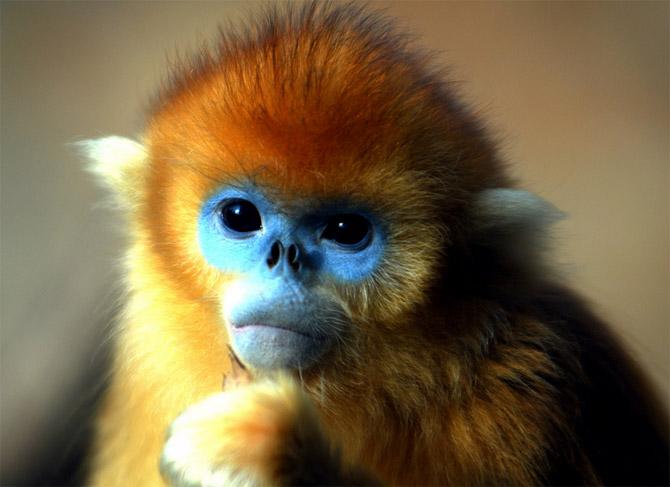 Golden Snub-nosed Monkey Backgrounds, Compatible - PC, Mobile, Gadgets| 670x487 px