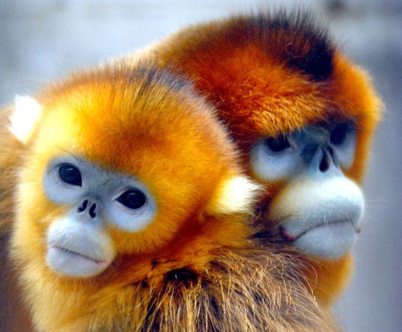 Golden Snub-nosed Monkey Backgrounds, Compatible - PC, Mobile, Gadgets| 790x653 px