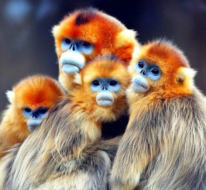 Golden Snub-nosed Monkey Backgrounds on Wallpapers Vista