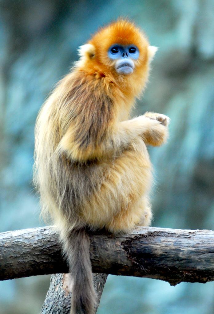 Images of Golden Snub-nosed Monkey | 696x1024