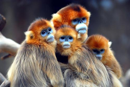 Golden Snub-nosed Monkey Backgrounds, Compatible - PC, Mobile, Gadgets| 500x335 px