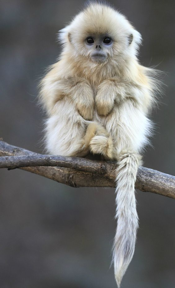 Images of Golden Snub-nosed Monkey | 564x923