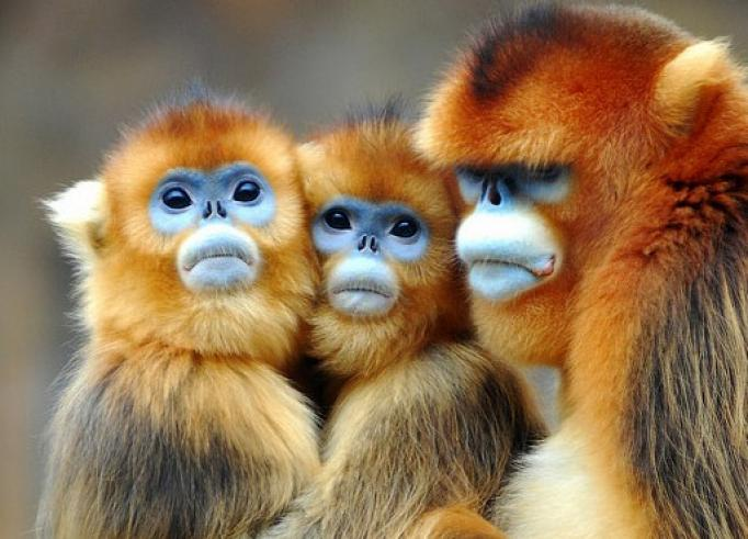 Nice wallpapers Golden Snub-nosed Monkey 682x491px