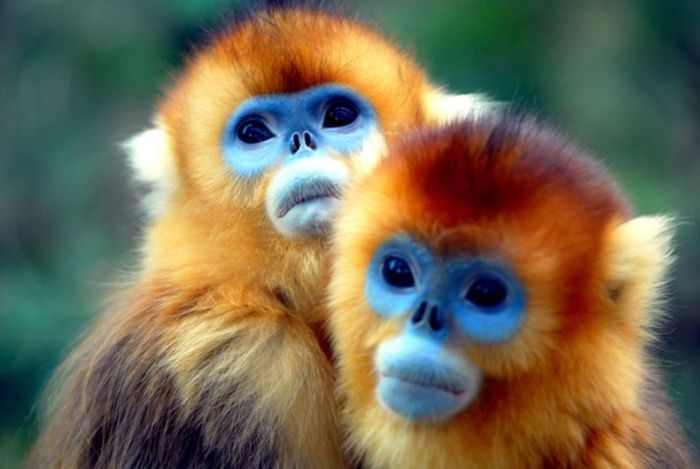 HD Quality Wallpaper | Collection: Animal, 700x469 Golden Snub-nosed Monkey