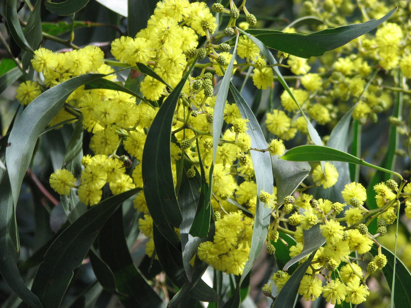 Golden Wattle Pics, Earth Collection
