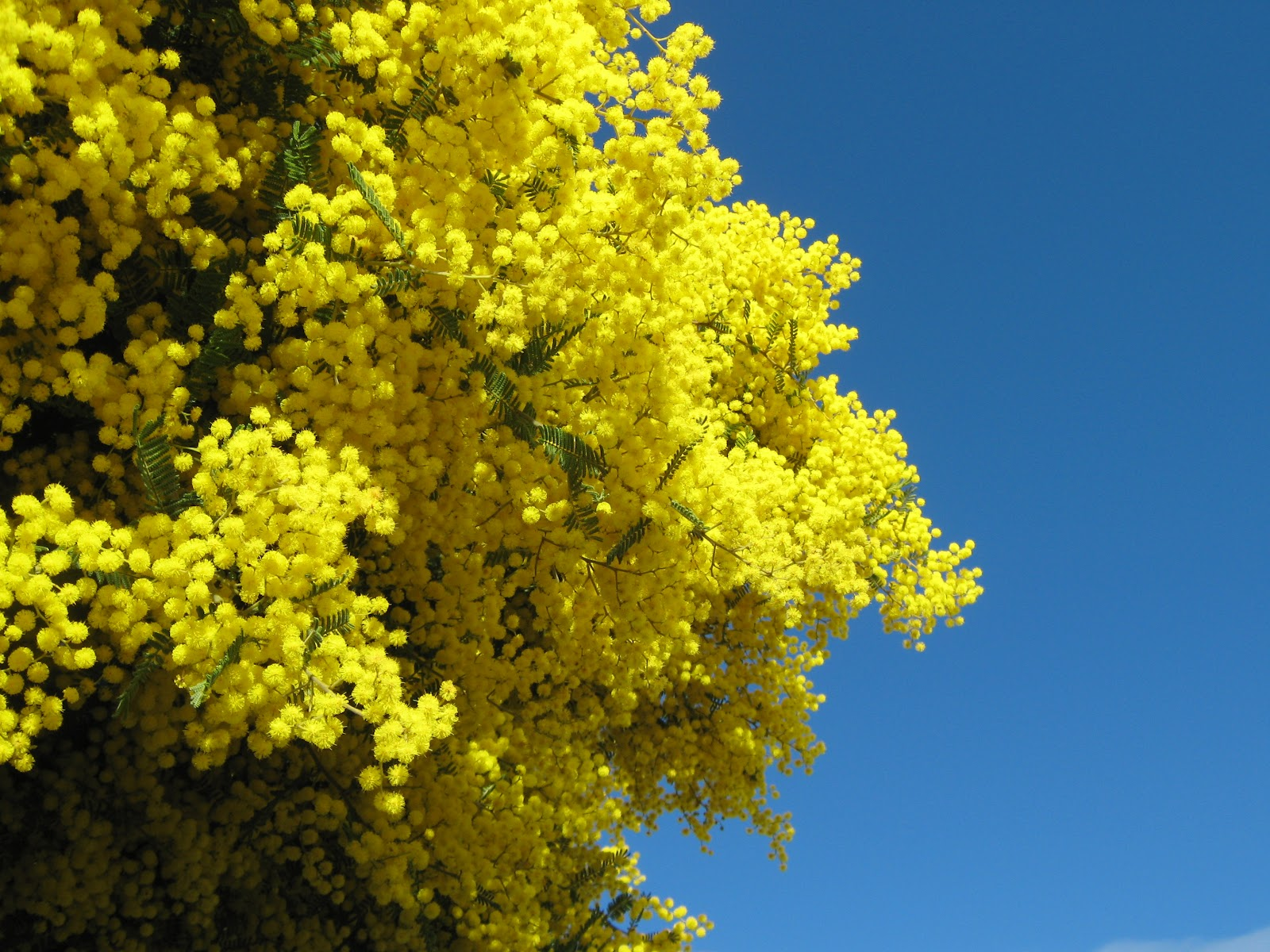 1600x1200 > Golden Wattle Wallpapers