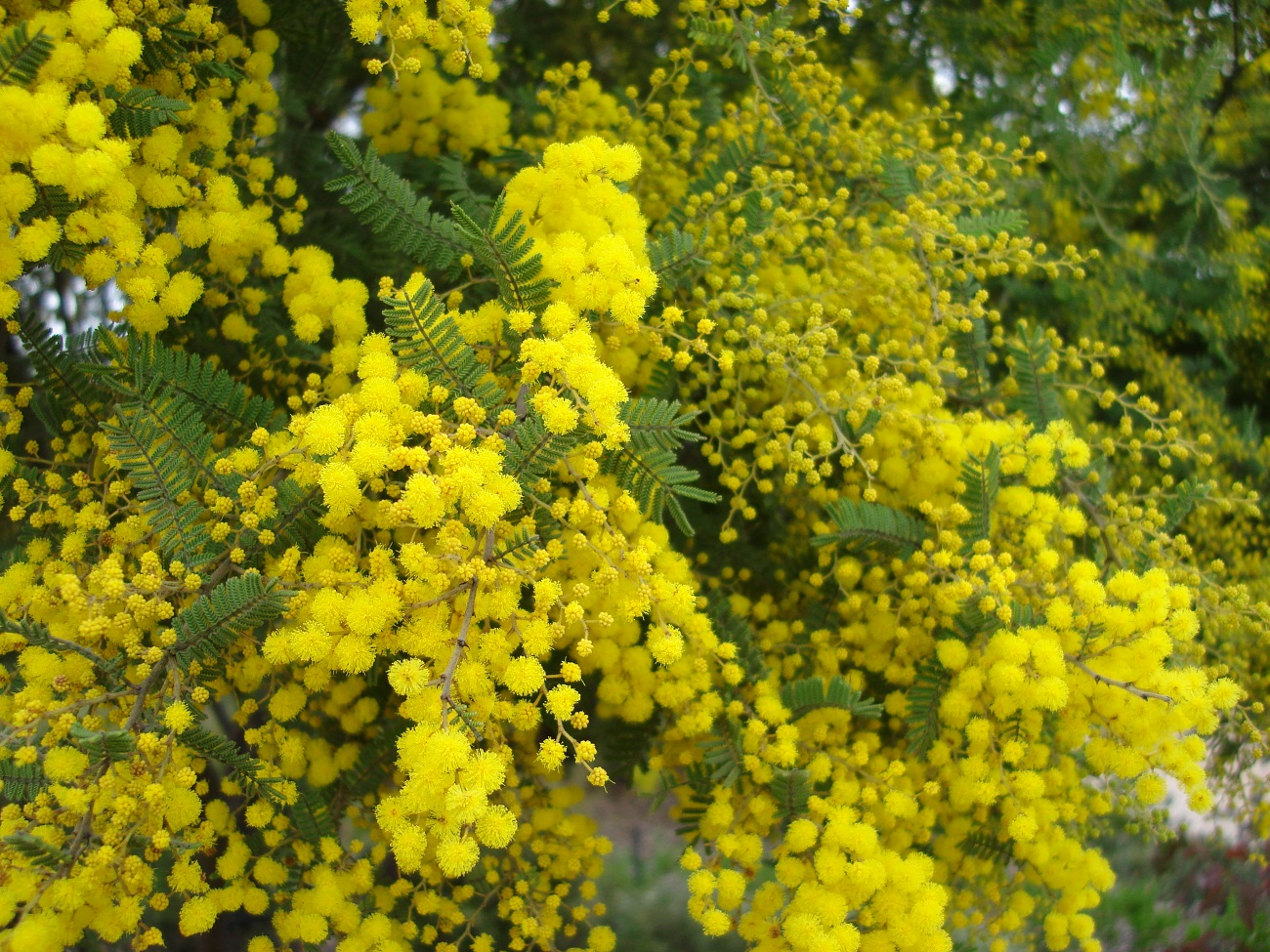 1300x975 > Golden Wattle Wallpapers