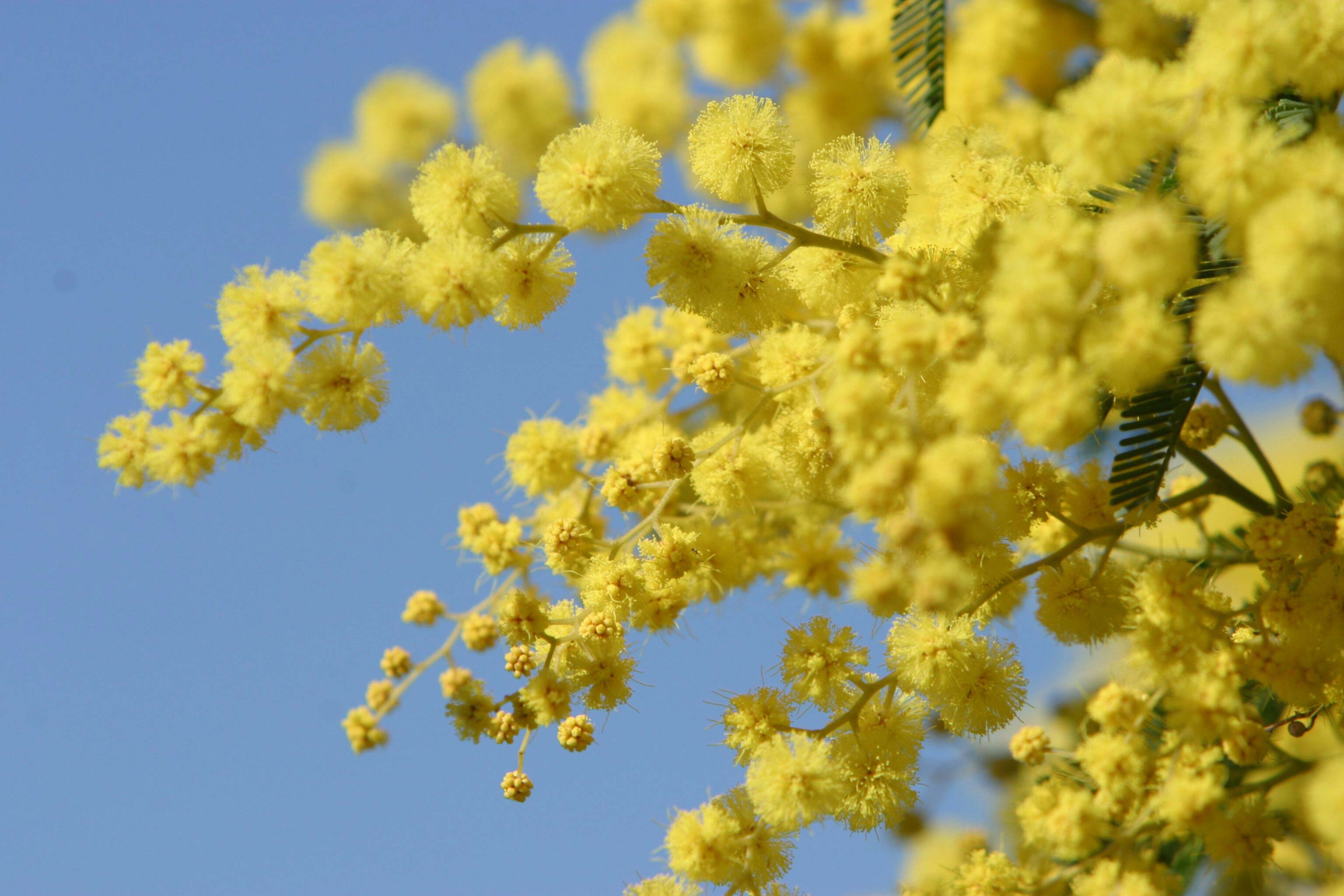 Nice wallpapers Golden Wattle 3072x2048px