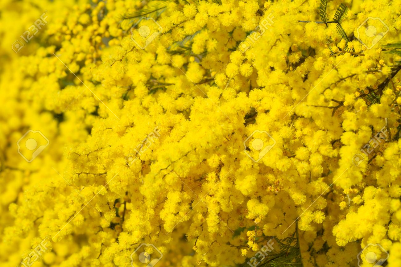 Golden Wattle High Quality Background on Wallpapers Vista