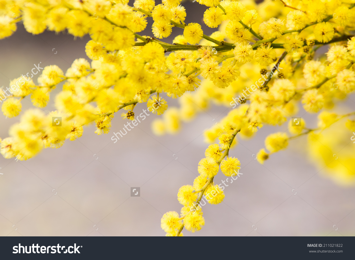 Golden Wattle Backgrounds, Compatible - PC, Mobile, Gadgets| 1500x1101 px