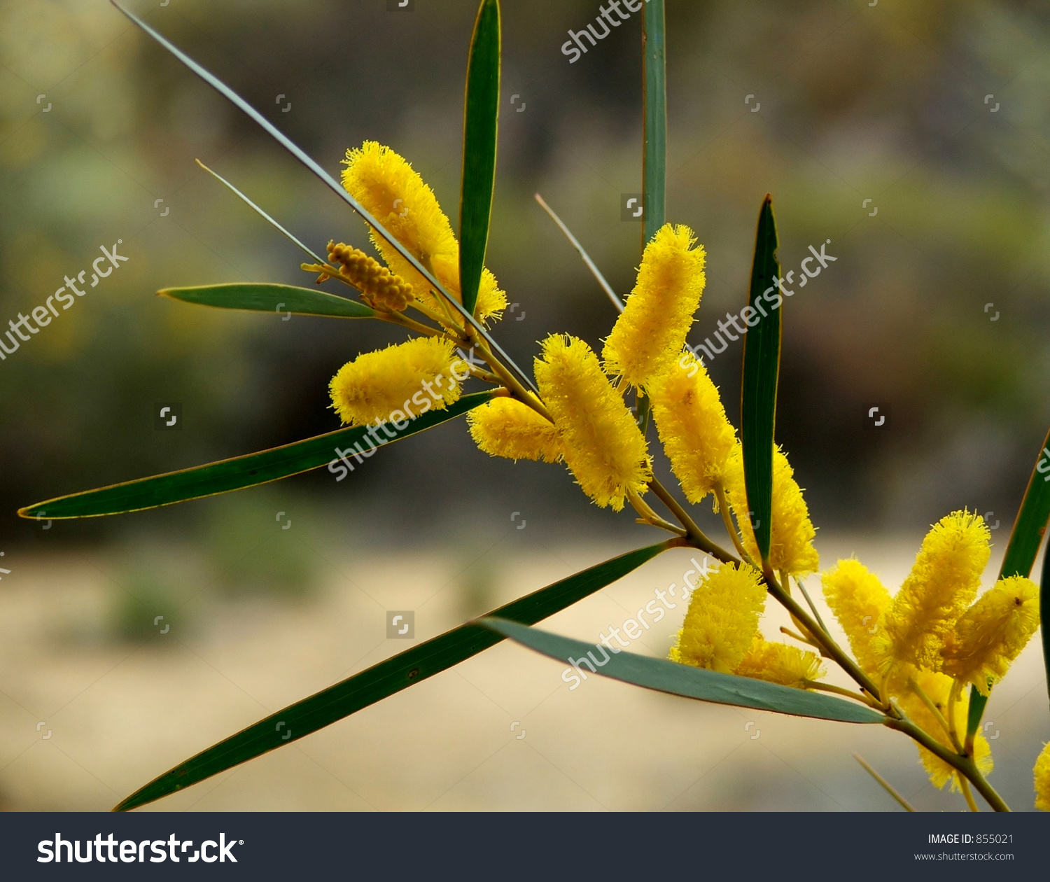 1500x1260 > Golden Wattle Wallpapers