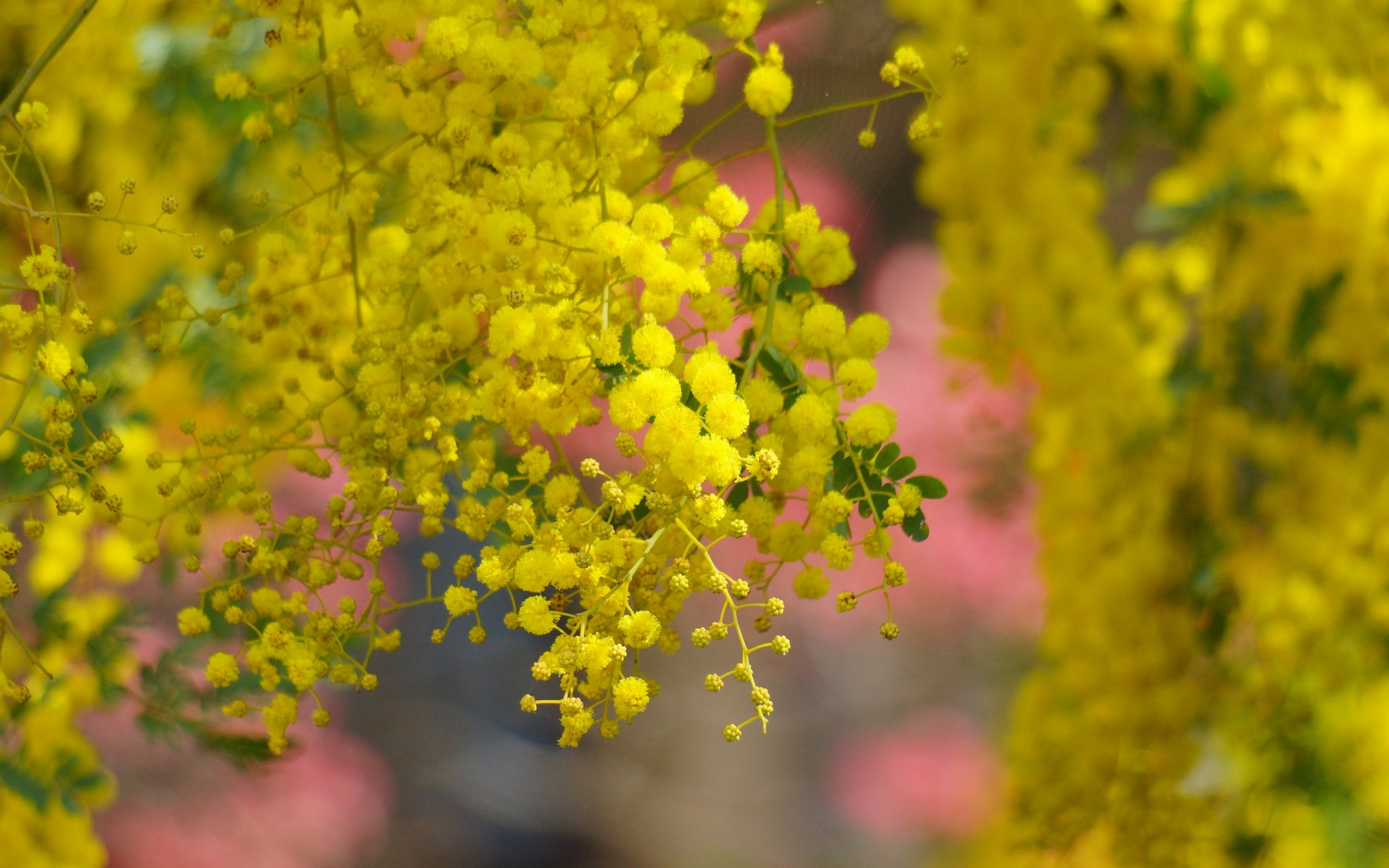 Golden Wattle Backgrounds on Wallpapers Vista