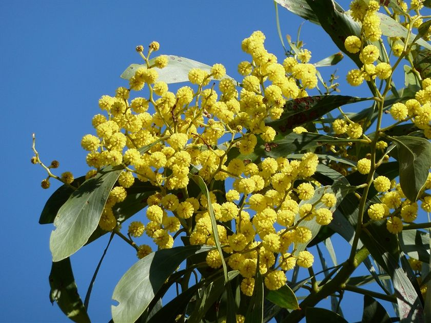 High Resolution Wallpaper | Golden Wattle 840x630 px
