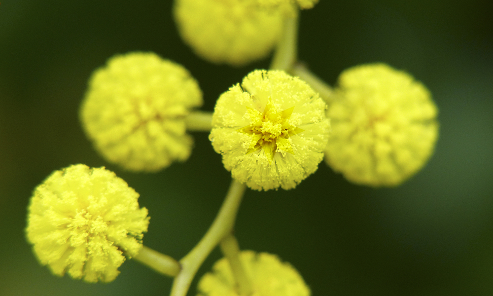 Nice wallpapers Golden Wattle 1000x600px