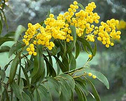 Amazing Golden Wattle Pictures & Backgrounds