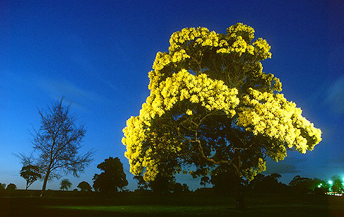 HD Quality Wallpaper | Collection: Earth, 500x316 Golden Wattle