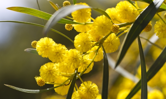 Images of Golden Wattle | 638x383