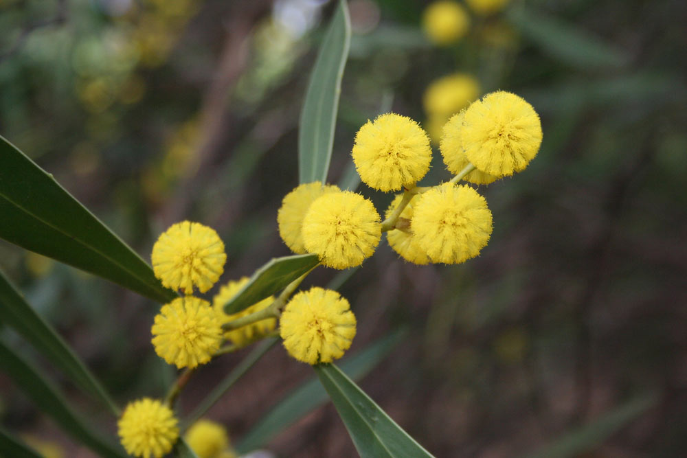 Nice Images Collection: Golden Wattle Desktop Wallpapers