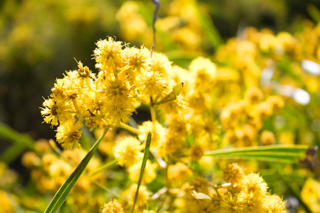 High Resolution Wallpaper | Golden Wattle 624x416 px