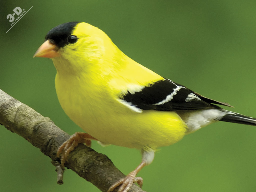 Amazing Goldfinch Pictures & Backgrounds