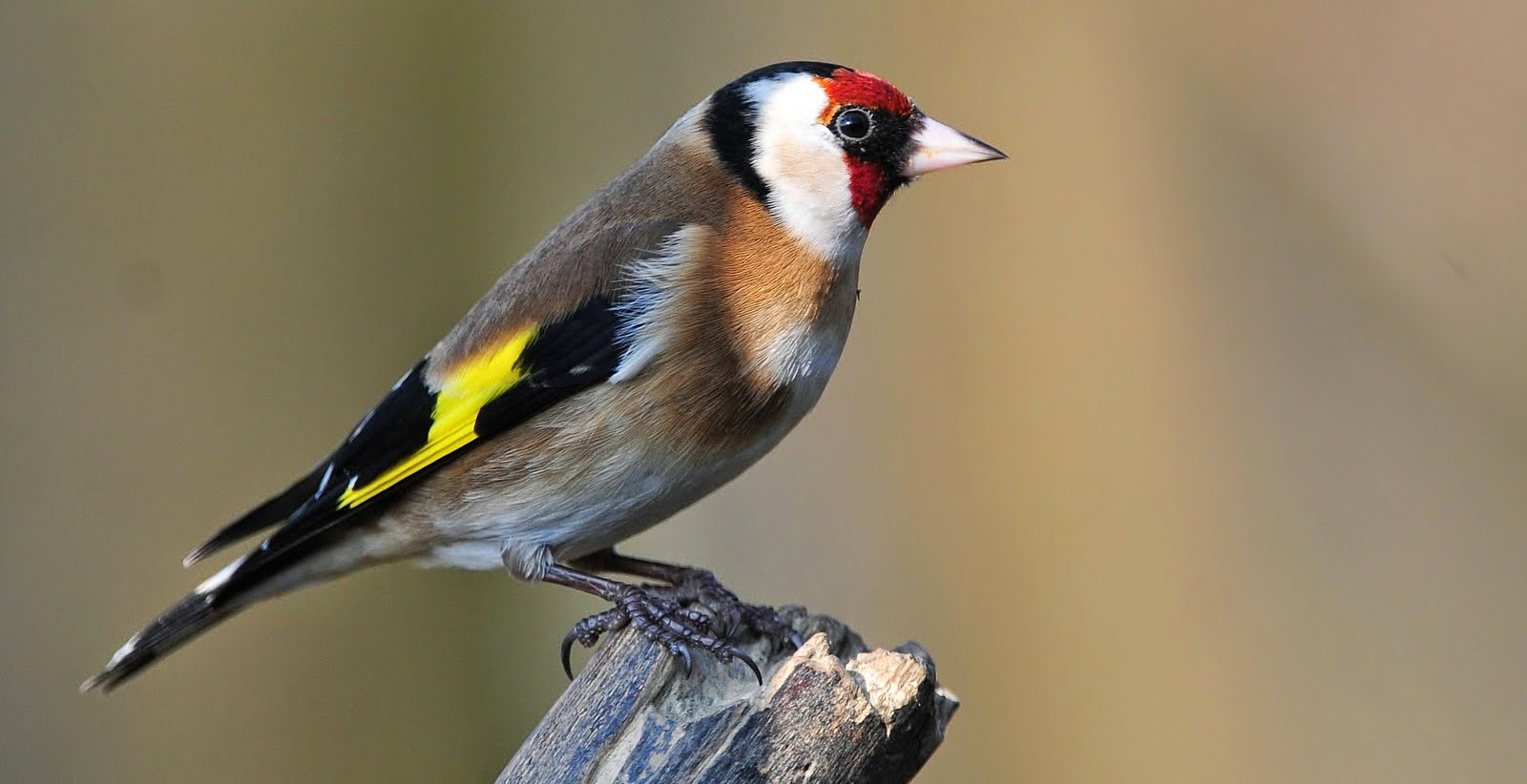 Goldfinch High Quality Background on Wallpapers Vista