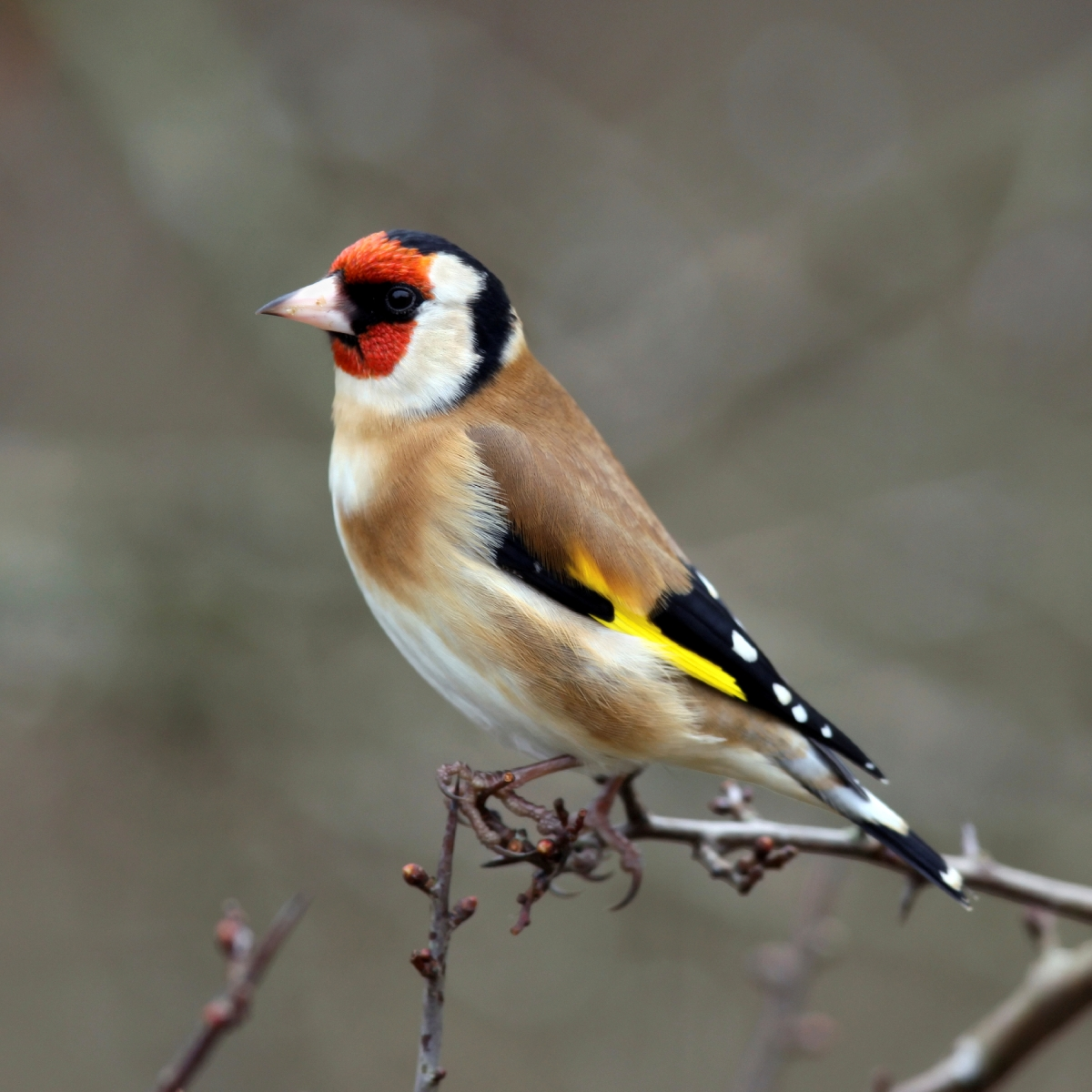 Nice wallpapers Goldfinch 1200x1200px