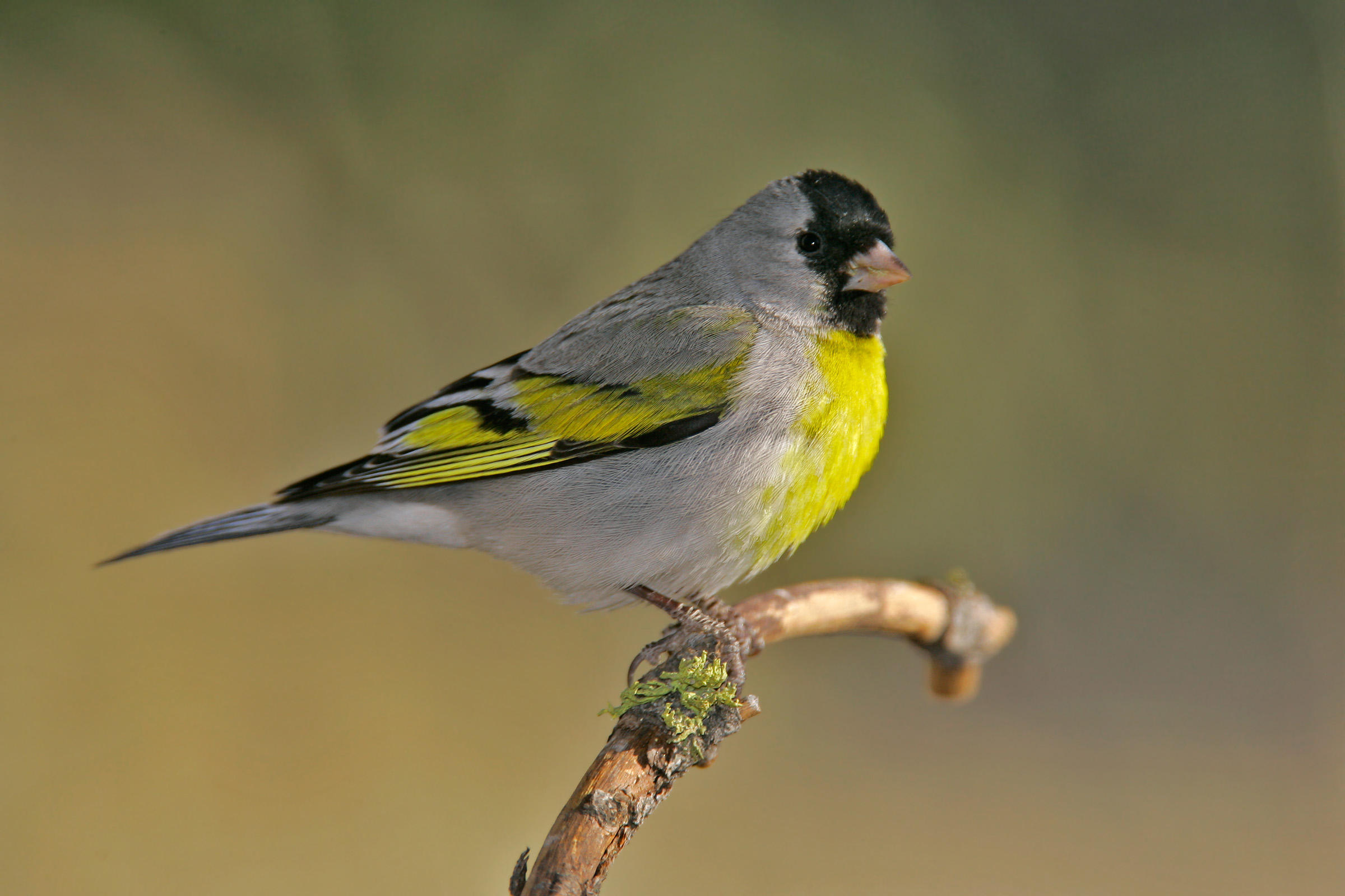 HD Quality Wallpaper | Collection: Animal, 2400x1600 Goldfinch