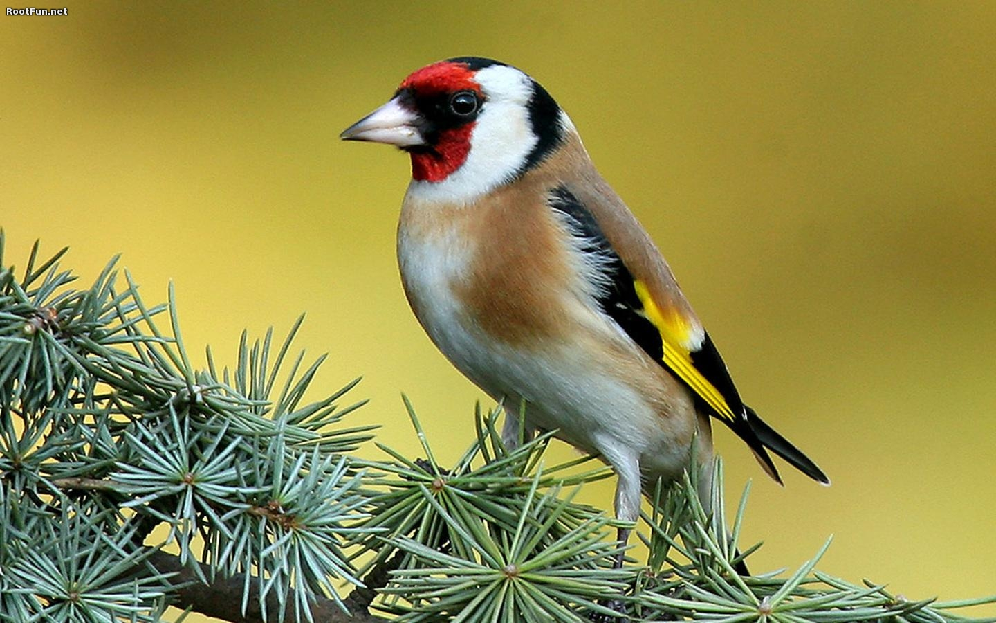Nice wallpapers Goldfinch 1440x900px