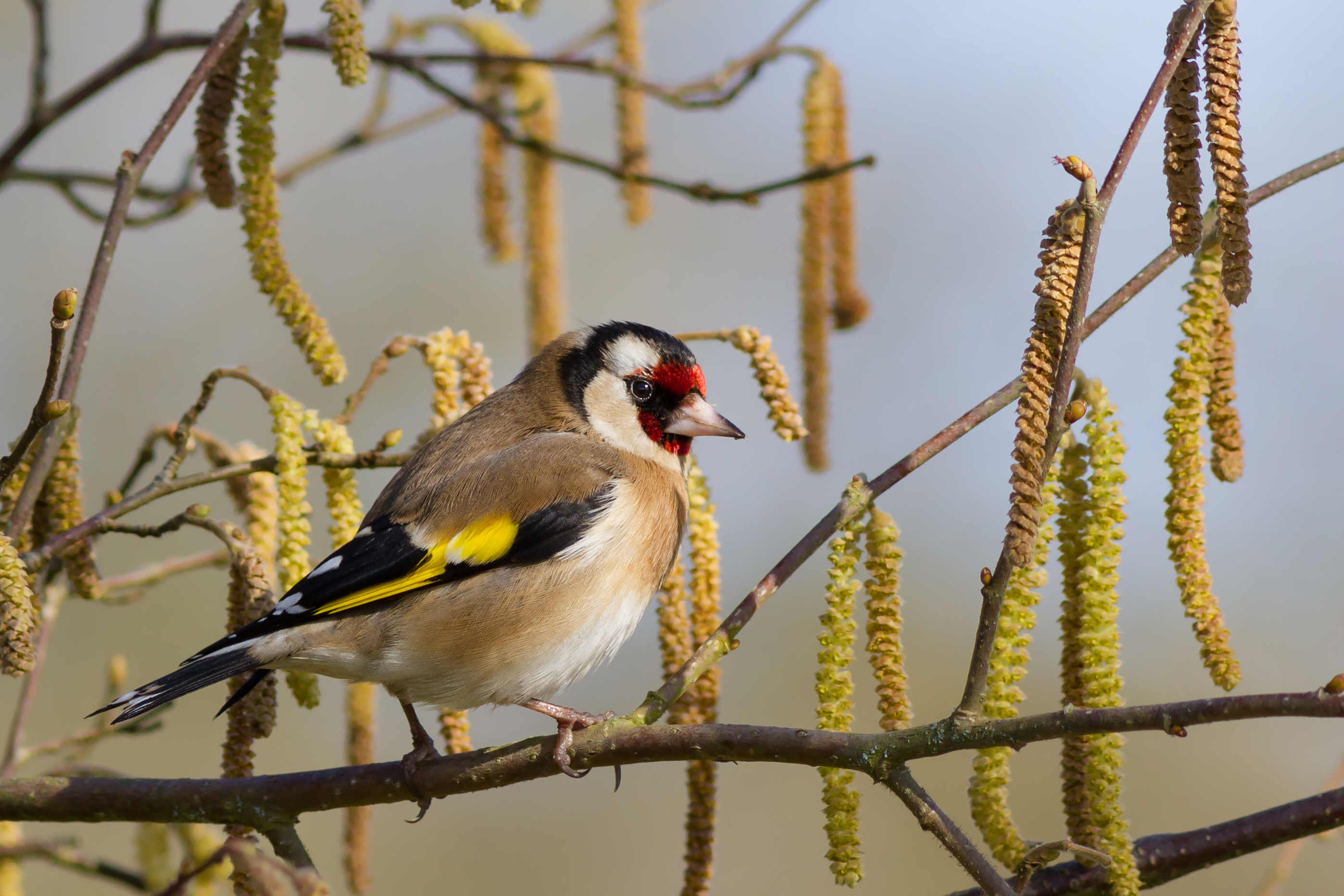 Goldfinch Backgrounds, Compatible - PC, Mobile, Gadgets| 2794x1864 px