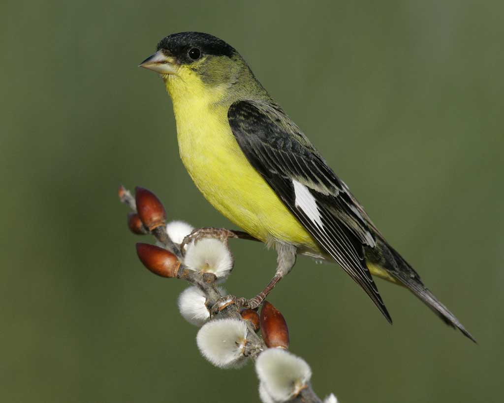 Goldfinch Pics, Animal Collection